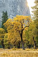 Oak Tree in Autumn Foliage Yosemite National Park CA USA World Location.