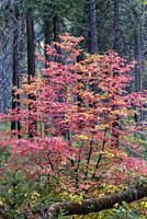 Dogwood in Fall Color Yosemite National Park CA USA World Location.