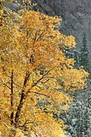 Sunlight on Yosemite Valley Oak in Fall Yosemite National Park CA USA World Location.