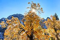 Fall Snow on Oaks Yosemite National Park CA USA World Location.