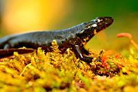 Iberian newt (Lissotriton boscai) in a pond near to A Pobra de Trives, Orense, Spain.