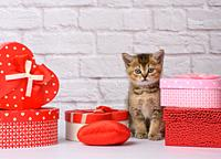 cute kitten Scottish golden chinchilla straight breed sits on a white background and boxes with gifts, festive background.