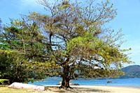 Malabar almond (Terminalia catappa) is a deciduous tree probably native to Asia but naturalized in most tropicals regions. It has medicinal properties...