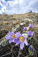 Pasque flower, National park Podyji, Southern Moravia, Czech Republic.