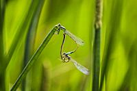 Damselflies (Zygoptera) mating. Perched on the tip of a reed, they form a mating wheel. Telephoto. South Florida, U. S. A. , North America.