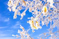 Frozen leaves and twigs of a linden tree in winter before a blue sky.