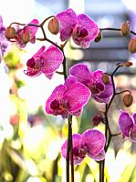 Orchids (Phalaenopsis).