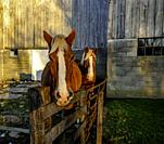 Belgian Draft Horses, Amish Farm Pennsylvania.