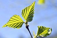 Young leaves of birch tree, Eure-et-Loir department, Centre-Val-de-Loire region, France, Europe.
