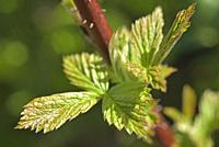 Young leaves of red raspberry plant, Eure-et-Loir department, Centre-Val-de-Loire region, France, Europe.