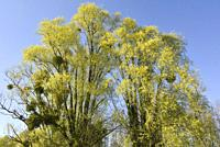 Mistletoe (Viscum album) growing on willow trees, Eure-et-Loir department, Centre-Val-de-Loire region, France, Europe.