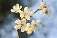 Flowering blackthorn branch, Eure-et-Loir department, Centre-Val-de-Loire region, France, Europe.