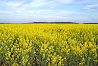 Rapeseed field, Eure-et-Loir department, Centre-Val-de-Loire region, France, Europe.