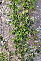 climbing ivy on Populus trunk, Eure-et-Loir department, Centre-Val-de-Loire region, France, Europe.