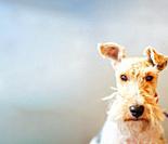Wire Fox Terrier Close Up Portrait. Copy Space.