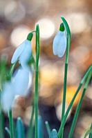 Galanthus nivalis,snowdrop flowers,springtime.