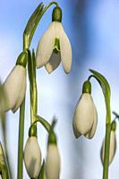 Galanthus nivalis,snowdrop flowers,springtime