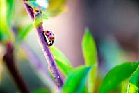 Red ladybugs in garden on tree branch.