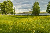 Meadow with common buttercup and a lake in background, in summertime, Swedish Lapland, Sweden.