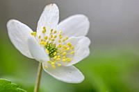 Anemone nemorosa,Wood anemone in close up. Early spring flower.