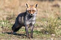 Fox looking at the camera.