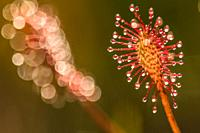 Sundew close up,drosera intermedia.