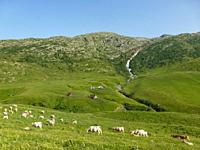 sheep at green in mountains in Auvergne, France