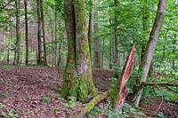 Old alder trees in summertime deciduous forest, Bialowieza Forest, Poland, Europe.
