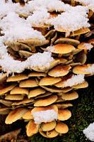 Tree mushroom cluster in fresh snow, Bialowieza Forest, Poland, Europe.