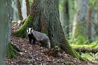 European Badger(Meles meles) in fall next to his burrow, Bialowieza forest, Poland, Europe.