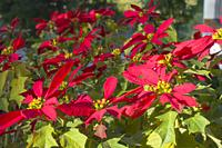 Beautiful red christmas flower poinsettia as Christmas symbol in garden Alicante Spain. Euphorbia pulcherrima.