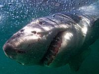 Great white shark in surface, Australia.