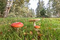 Amanita mushroom,fly agaric (amanita muscaria).