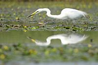 Great Egret (Ardea alba), hunting fish with reflection in the water, Hortobagy national park, Hungary.