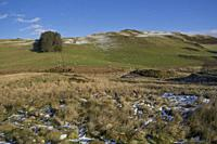 Sheep grazing in the snow in the winter in the hills in Powys,Wales,UK.