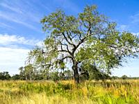 Single tree in sawgrass prairie on a blue sky sunny day in Myakka River State Park in Sarasota Florida USA.