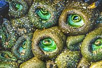 Colorful Green Anemones Low Tide Pools Marine Garden Haystack Rock Canon Beach Clatsap County Oregon.