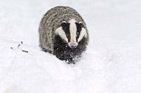 Badger, Meles meles, in winter.