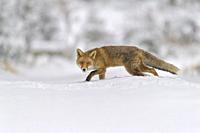 Red Fox, vulpes vulpes, in winter.