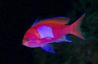 Squarespot Anthias (Pseudanthias pleurotaenia), Post 2 dive site, Menjangan Island, Bali, Indonesia.