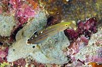 Old Glory Goby (Koumansetta rainfordi), Post 2 dive site, Menjangan Island, Bali, Indonesia.