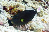Pinktail Triggerfish (Melichthys vidua), Post 2 dive site, Menjangan Island, Bali, Indonesia.