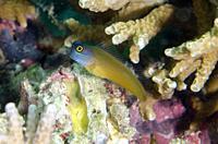 Eye Spot Blennys (Ecsenius ops), Post 1 dive site, Menjangan Island, Bali, Indonesia.