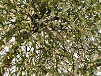 mistletoe in a fruit tree in wintertime with ripe berries.