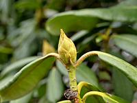 Rhododendron bud in wintertime in Germany.
