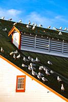 Flock of Seagulls on a cannery roof in Steveston British Columbia Canada.