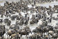 Blue Wildebeest (Connochaetes taurinus) herd during crossing the Mara river, Serengeti national park, Tanzania.