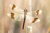Dragonfly in close up (sympetrum Pedemonatum) natural environment.