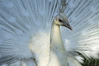 Portrait of a white peafowl (Pavo cristatus). Telephoto.