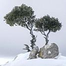 lonely tree on the ridge, Puig des Coll des Jou, 1052 meters, Orient valley, Mallorca, Balearic Islands, Spain.